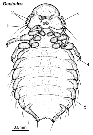 Goniodes female ventral.png