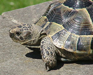 Spur-thighed tortoise - Testudo graeca, 4 years