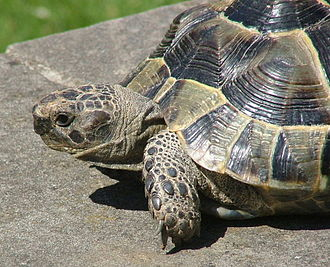 Greek tortoise - Testudo graeca, 4 years