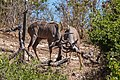 Gran kudús (Tragelaphus strepsiceros), parque nacional de Chobe, Botsuana, 2018-07-28, DD 27.jpg