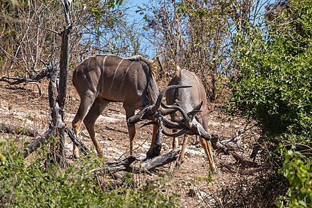 Fighting of Greater kudus (Tragelaphus strepsiceros), Chobe National Park, Botswana.