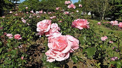 Grandiflora - Queen Elizabeth 1 (cr).JPG