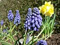 Grape hyacinth (1).jpg