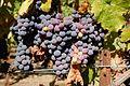 Grapes (1068979168).jpg