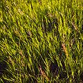 Grass (2618788782).jpg