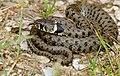Grass Snake (Natrix natrix) juvenile (found by Jean NICOLAS) (34700945763).jpg