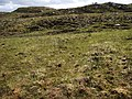 Grass growing after the heather burning - geograph.org.uk - 440442.jpg