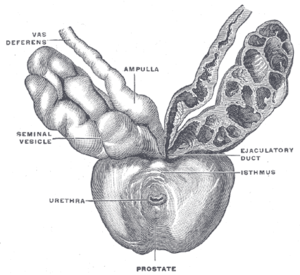 Excretory duct of seminal gland - Prostate with seminal vesicles and seminal ducts, viewed from in front and above.