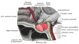 Anterior commissure - The hypophysis cerebri in position. Shown in sagittal section. (Caption for anterior commissure is at center top.)