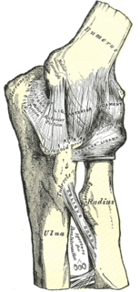 Humeroradial joint anatomical structure