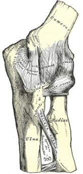 Лучелоктевой сустав википедия хронический синовит коленного сустава