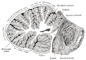 Cerebellar veins - Image: Gray 704