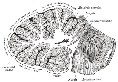 Anatomy of the cerebellum - Wikiwand