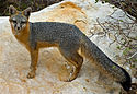 Gray Fox - Red Rock Canyon, Nevada copy.jpg