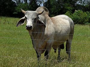 A zebu bull.