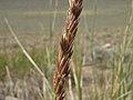 Great Basin wildrye, Elymus cinereus (26426556274).jpg