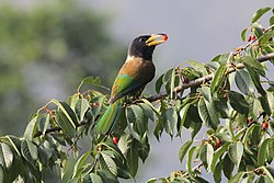 Great Himalayan Barbet.JPG