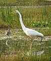 Great egret Odisha India.jpg