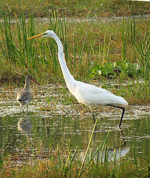 Great egret Odisha India.jpg