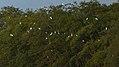 Great egrets (31095581462).jpg