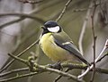 Great tit (28125390329).jpg