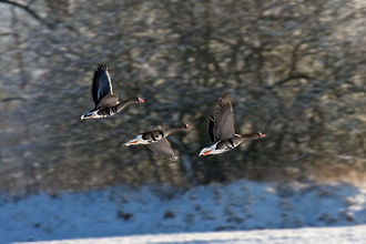 Greater white-fronted goose - Image: Greater white fronted goose