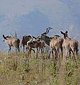 Greater Kudus (Tragelaphus strepsiceros) (31613494273).jpg