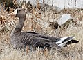 Greater White-fronted Goose (29621751761).jpg