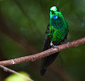 Green-crowned Brilliant.jpg