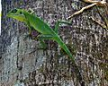 Green Crested Lizard (Bronchocela cristatella) dominik jan.jpg