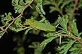 Green Milkweed Locust (Phymateus viridipes) (6860230398).jpg