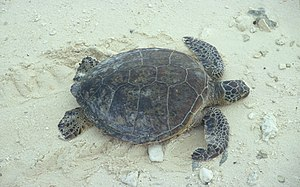 Green sea turtle coming on to the beach to nest.