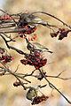 Greenfinch Lodz(Poland)(js)11.jpg