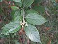 Grewia parviflora fleur.JPG