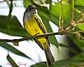 Grey Headed Canary Flycatcher (6883453768).jpg