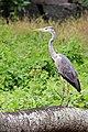 Grey Heron (22581635144).jpg