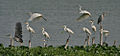 Grey Herons (Ardea cinerea) with Great Egrets (Casmerodius albus)- Resting & Taking off at Kolkata I IMG 6122.jpg