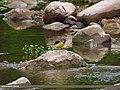 Grey Wagtail (Motacilla cinerea) (15274028853).jpg