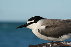 Grey backed tern.JPG