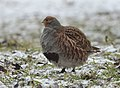 Grey partridge (33493291528).jpg