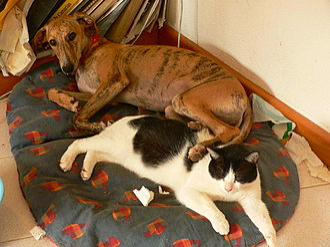 Greyhound adoption - A greyhound puppy and cat.