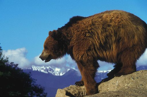 Grizzly bear on a rock overlooking