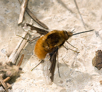 The large bee-fly, Bombylius major, is a Batesian mimic of bees. Grosser Wollschweber Bombylius major.jpg