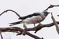Ground Cuckoo-shrike (Coracina maxima) (8079673656).jpg