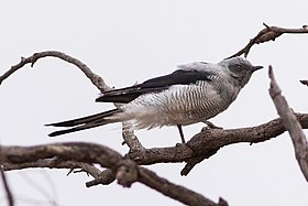 Ground Cuckoo-shrike (Coracina maxima) (8079673656).jpg