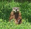 Groundhog, eating.jpg