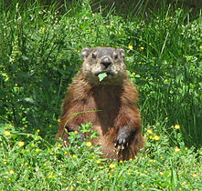 Groundhog, eating