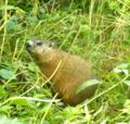 Groundhog Peering (9328597632).png