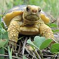 Grumpy baby gopher tortoise (23127998839).jpg