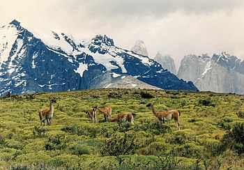 English: Guanacos in Torres del Paine National...
